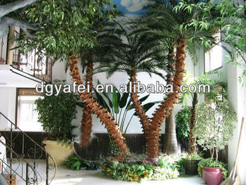 more than 10 years outdoor date palm tree