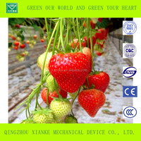 Green Straw Berries Greenhouse Agriculture For