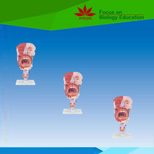 High quality anatomical model Nose, mouth, pharynx, larynx medical model