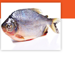 chinese good quality live Tilapia