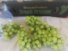 New crop fresh seedless grape red globe grapes from india
