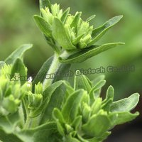 Natural Herb Ingredient Stevia Extract