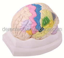 Medical human brain model,functional localization of cerebral cortex model