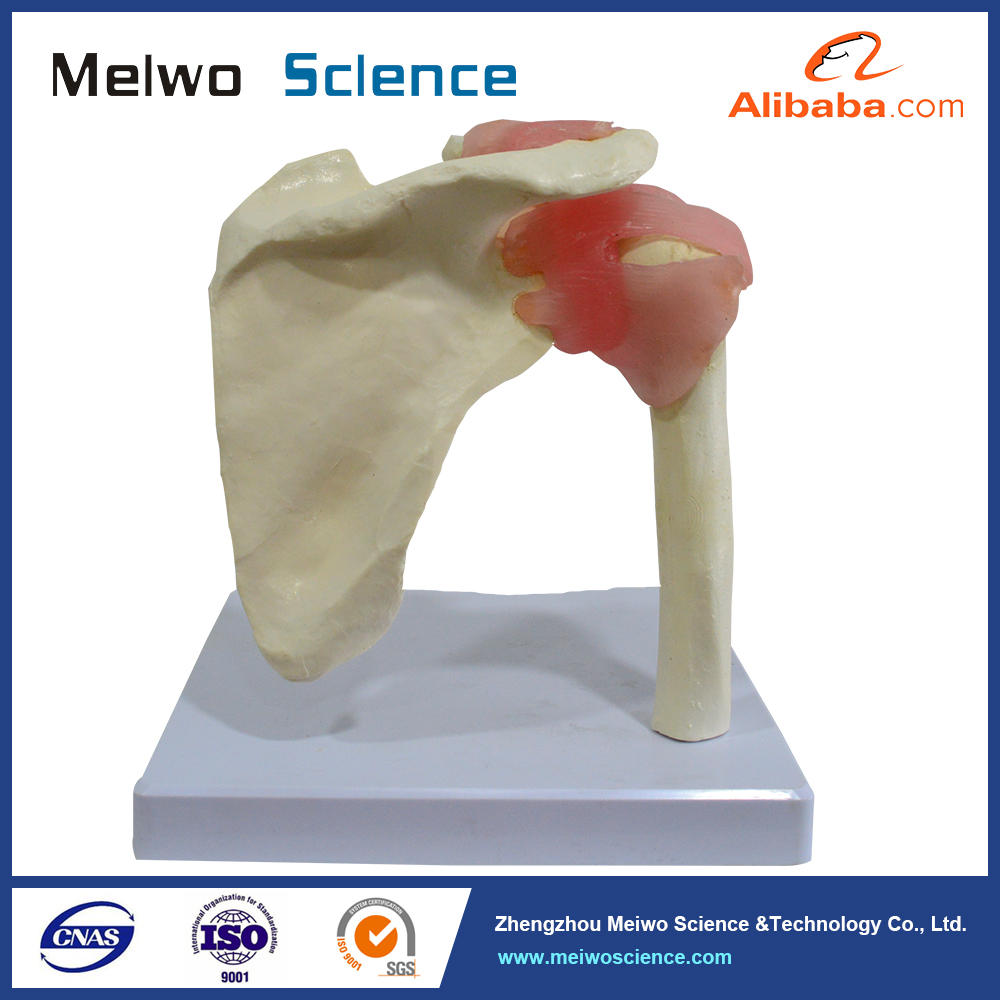 Meiwo life size human shoulder joint model for medical education