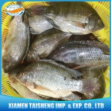 Sell tilapia chilled fish