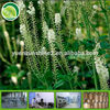 100% pure natural GMP factory Black Cohosh Extract