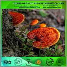 Hot sell Reishi extract / raw reishi mushroom / reishi slice