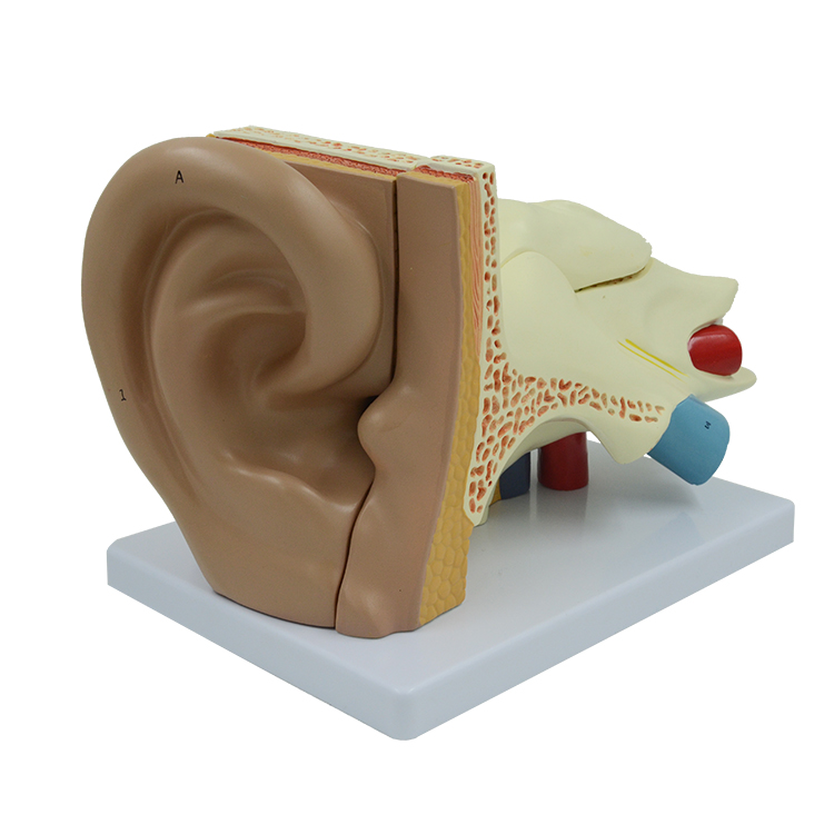 PNT-0671 Medical human big ear anatomical <strong>model</strong> 5 parts