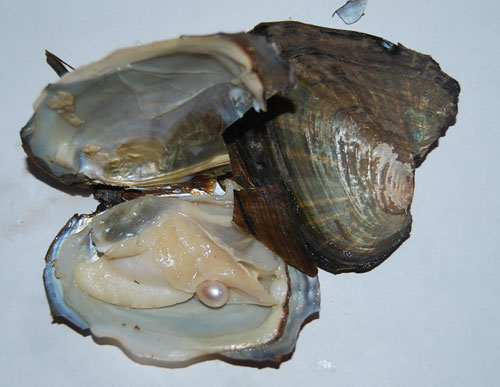 5-6CM vacuum packed fresh water oyster