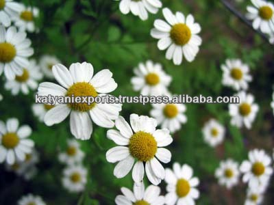 100% PURE CHAMOMILE ROMAN OIL / CHAMOMILE OIL / CHAMOMILE ESSENTIAL ISO & GMP Approved /