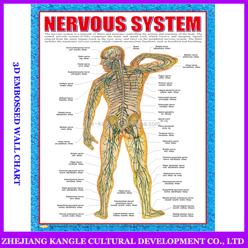 India language PVC environmentally painting educational baby toys wall chart with nervous system anatomy