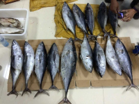 Frozen whole round yellow fin tuna all size available ready stock.