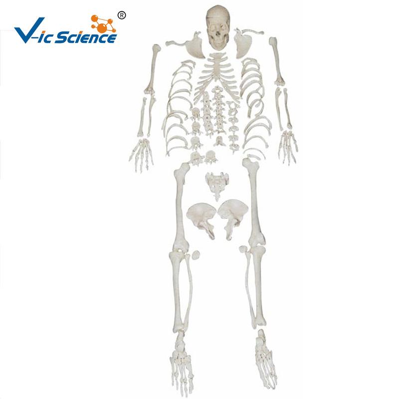 Venta al por mayor esqueleto humano-Compre online los mejores ...