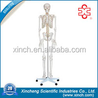 New Style Life Size Plastic Skeleton With Stand For Sale