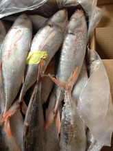 China Newly Caught Fresh Top Quality red tail horse mackerel 25 cm up