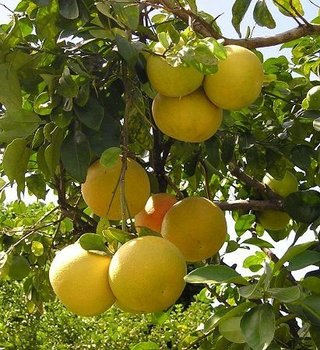 Fresh White Marsh Grapefruits from Israel - Planet Israel