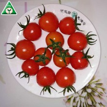 2018 newly PINK PEARL F1 Cherry Tomato with best price