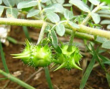 natural tribulus terrestris extract with cheap price