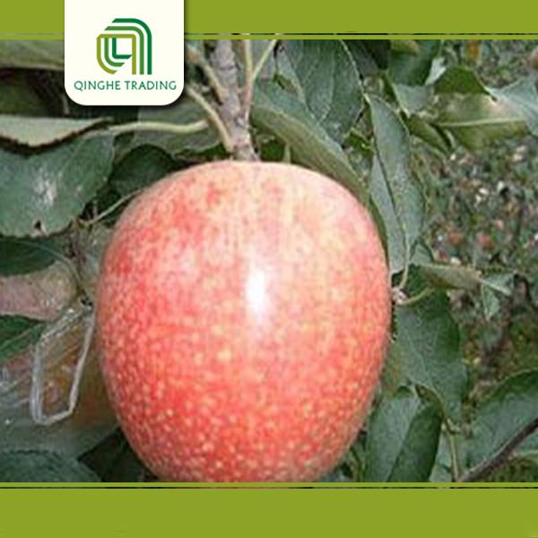 apple to middle east market china qinguan apples apple farms