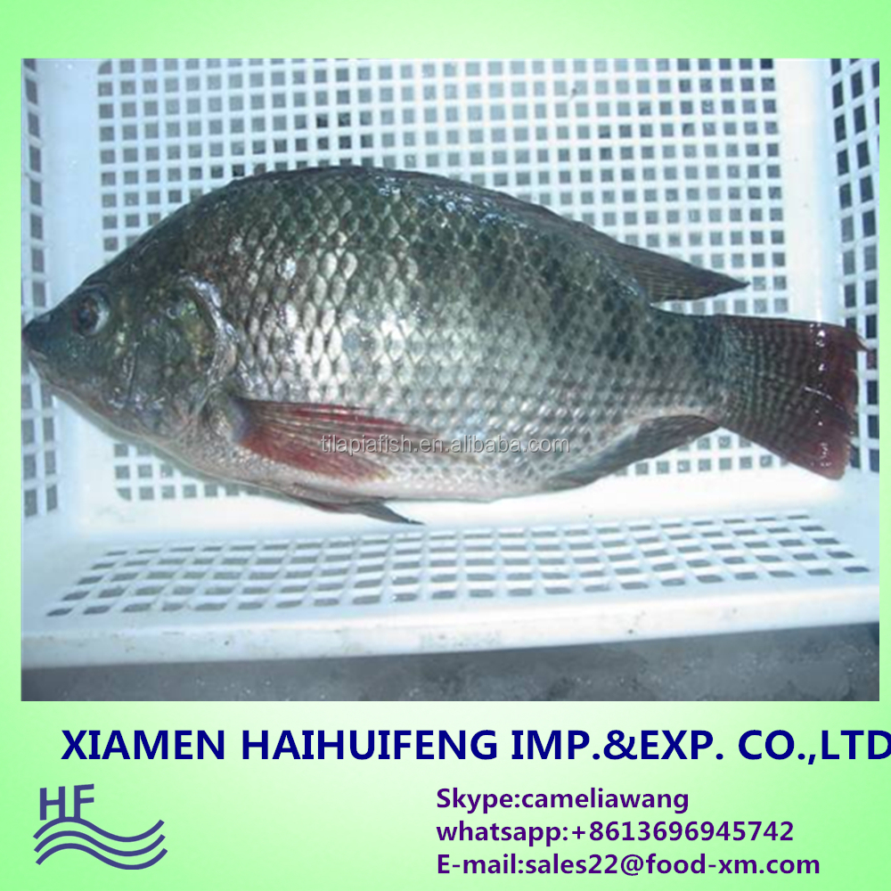 Quality Seafood Product Black and Red Tilapia wholesale price