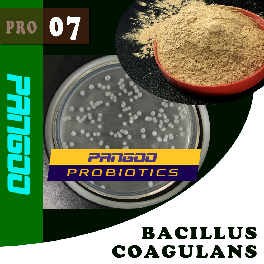 bacillus coagulans, lactic acid-forming bacillus bacteria with high quality