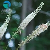 High Quality of Black Cohosh Root Extract with best price!!!