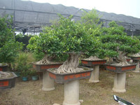 Artistic best bonsai of ficus microcarpa