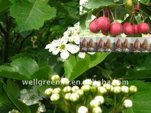 top quality Hawthorn Berry P.E.