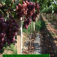 chinese fresh red globe table grapes fruit