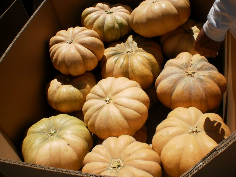 Pumpkins Fairytale (hard squash)