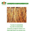 High quality natural plant extract Angelica (Dong Quai) Extract