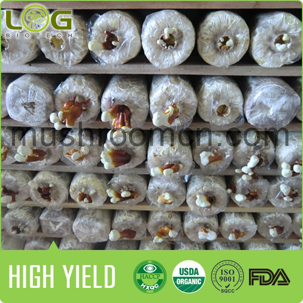 High Yield and Stable Quality Reishi Mushroom Growing Bags