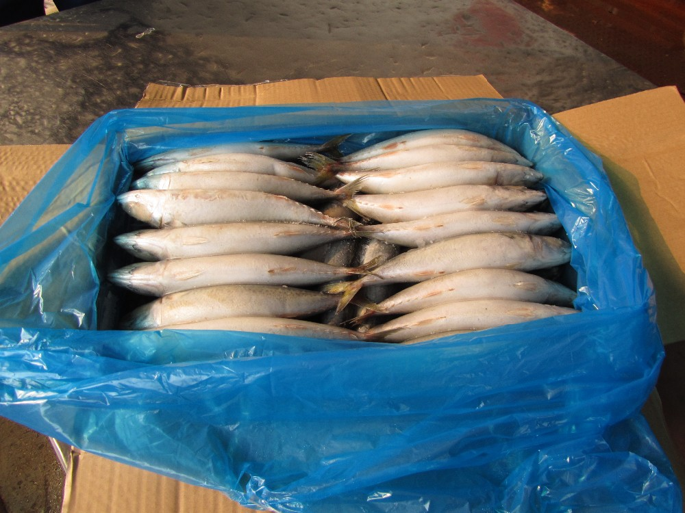 Hot sale frozen indian mackerel fish