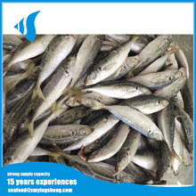 12-14pcs kg Frozen Horse Mackerel with Wholesaler price