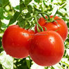 china specification fresh tomato