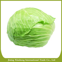 Fresh cabbage with high quality