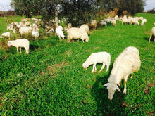 Live Sardinian lamb & sheep