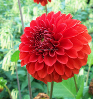 Gift new coming swan island dahlias