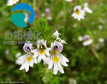 pure herbal extract eyebright powder with best quality !!!