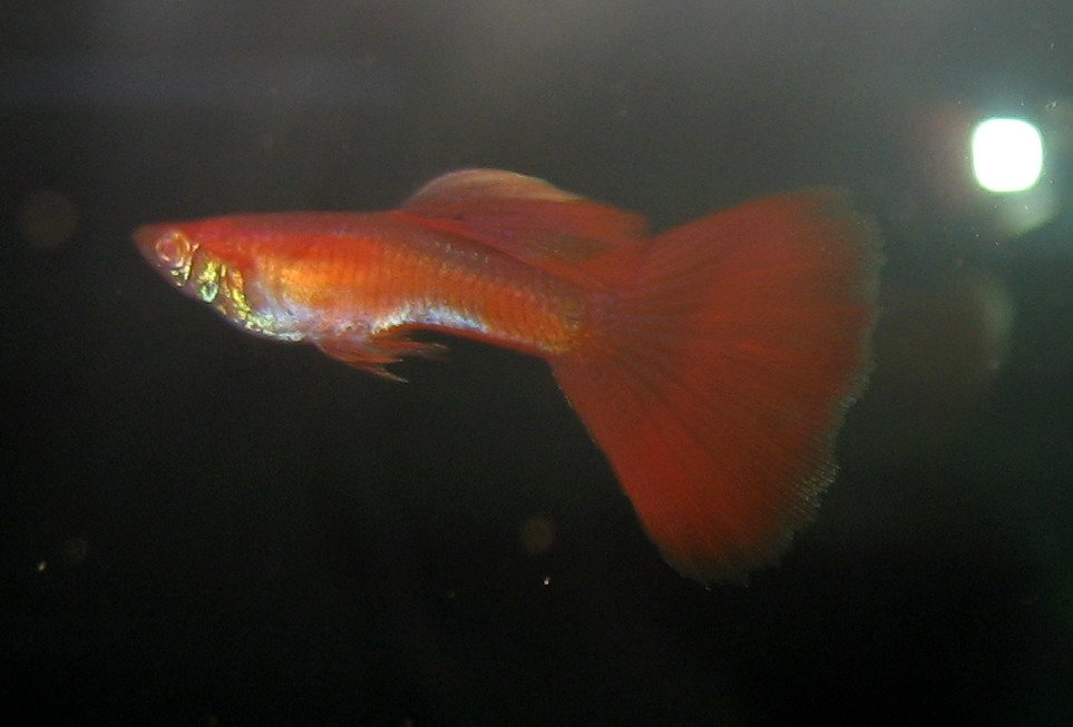 Rrea Full Red Guppy