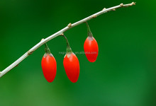 Chinese Herbs Goji Berry Fruit with High Medical Value