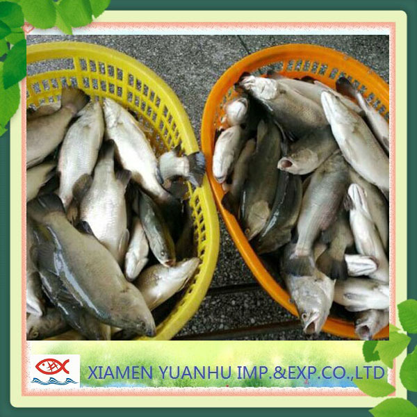 wholesale frozen seafood product seabass barramundi