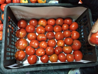 high-quality fresh organic farmer tomatoes for sale