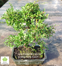 Ulmus ( Chinese Elm) bonsai tree S shape