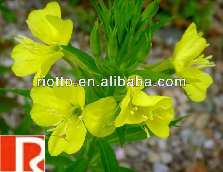 top quality pure nature Evening Primrose extract Powder with 10:1,Oenothera erythrosepala Borb,Yue jian cao)