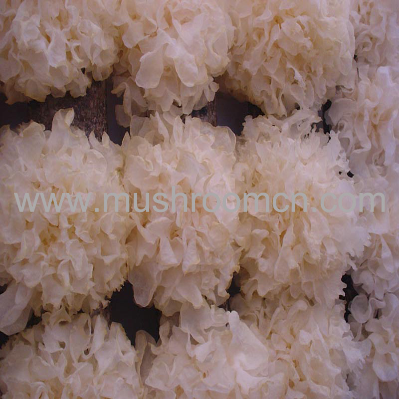 high yield white jelly mushroom log