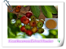 High Quality Ficus Racemosa Extract Powder