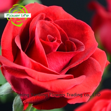 Decoration Flower Jasmine Flowers For Sale Rose Carola with 5-8cm Big Bud Types Of Fresh Cut Flowers From Yanbing/Kunming
