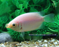 Kissing Gourami Fish Farm For Sale / Thailand Tropical Fish Exporter