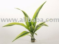 Dracaena fragrans Lemon Lime rooted cutting
